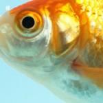 金魚の病回復で立証された「樺のあな茸茶」のすごさ!